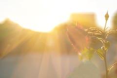 Wzrastał w świetle słonecznym Fotografia Stock
