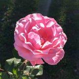 Wzrastał w kolor róży na ciemnym tle zdjęcia royalty free