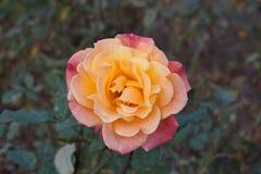 Wzrastał w ogródzie różanym zdjęcia royalty free