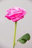 Wzrastał kwiat Zdjęcia Royalty Free