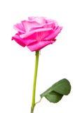 Wzrastał kwiat Obrazy Stock