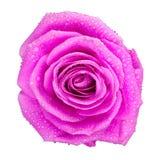 Wzrastał kwiat Fotografia Stock