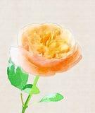 Wzrastał, kwiat Fotografia Stock