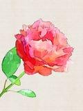 Wzrastał, kwiat Obrazy Stock