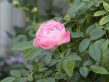 Wzrastał kwiat menchie Zdjęcia Stock