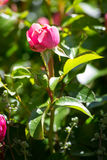 Wzrastał kwiatu Zdjęcie Royalty Free