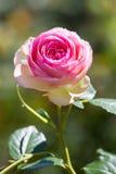 Wzrastał kwiatu Fotografia Royalty Free