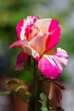 Wzrastał kwiatu Obraz Royalty Free