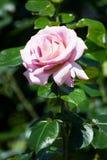 Wzrastał kwiatu Obraz Stock