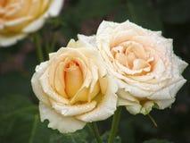 Wzrastał kwiatu Kwiaty Obrazy Stock
