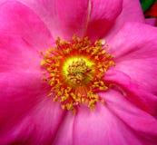 Wzrastał kwiatu makro- Obrazy Stock