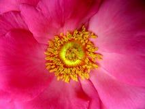 Wzrastał kwiatu makro- Zdjęcia Royalty Free