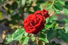 Wzrastał kwiatu stopnia lavaglut, dwa zmrok - czerwoni Terry kwiaty Fotografia Royalty Free