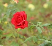 Wzrastał kwiatu w ogródzie Zdjęcia Stock