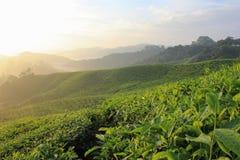 Wzrost herbata Fotografia Stock
