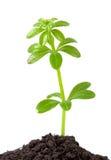 wzrostowa roślina Obraz Stock