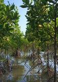 Wzrostowy mangrowe Obraz Royalty Free