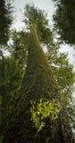 wzrostowy stary drzewo Obraz Royalty Free