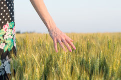 wzruszająca pszenicy Zdjęcie Royalty Free