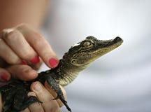 Wzruszający dziecko aligator obraz stock
