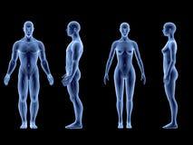 x光芒人的男女身体 解剖学概念 孤立, 3d回报 免版税库存图片