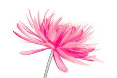 X射线辐射在白色隔绝的花,大丽花的图象 库存例证
