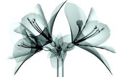 X射线辐射在白色隔绝的花,孤挺花的图象 免版税库存图片