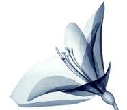 X射线辐射在白色隔绝的花,孤挺花的图象 库存图片