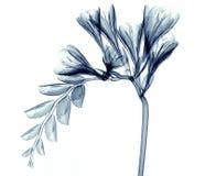 X射线辐射在白色隔绝的花,小苍兰的图象 免版税库存照片