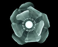 X射线辐射在黑色隔绝的花,鸦片的图象 免版税库存照片