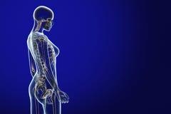 解剖学蓝色光芒x 库存图片
