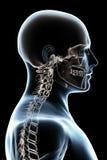 解剖学黑色光芒x 库存图片