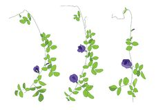 Colour  Pea flowers Leaves lined design on white background stock illustration