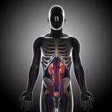 人力泌尿系统正面图在灰色X-射线的 库存图片