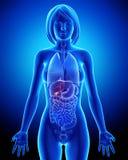 一部分的在蓝色X-射线的女性胆汁解剖学 图库摄影