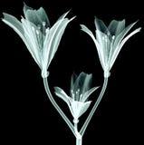 X射线辐射在黑色隔绝的图象花,桃红色卷丹 免版税图库摄影