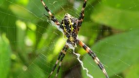 X araña Fotografía de archivo