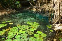 X-Batun Cenote - свежая вода бирюзы с лилиями воды Стоковое Фото