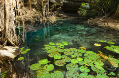 X-Batun Cenote - turquoise fresh water with water lilies Royalty Free Stock Photos