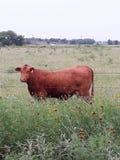 & x22; Branded& x22; Vaca de Brown que pasta em Texas Ranch imagens de stock royalty free