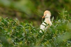 X28 &; Bubulcus ibis& x29; obrazy stock