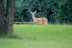 3x3 buck deer in velvet antlers. 3x3 buck deer in velvet standing in green field Stock Images