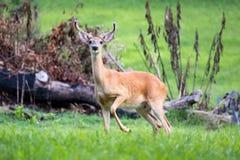 3x3 buck deer in velvet antlers. 3x3 buck deer in velvet standing in green field near brush Stock Photo