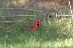 ( cardinal do norte; Cardinalis cardinalis) Homem foto de stock royalty free