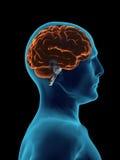X cerebro del rayo Imagen de archivo