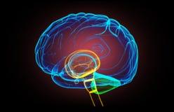 X- cerebro humano del rayo ilustración del vector