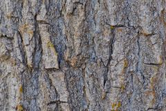 3 X 2 Colorado Cottonwood Tree Bark Background. Cottonwood tree bark. Horsethief Canyon State Wildlife Area in western Colorado has views, migratory birds, and royalty free stock photo