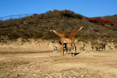 X cross giraffes. Two giraffes walking together, like an X cross Royalty Free Stock Photography