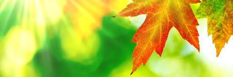 Autumn Maple Leaf. With sun rays stock image