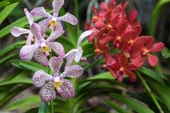 X el rosa blanco de Mokara punteó las orquídeas nombradas Chao Praya Dot Com Imagenes de archivo